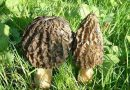 Kuzu göbeği mantarının faydaları nelerdir?
